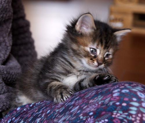 Suhaila, gatita parda con toques canela pelo largo guapísima, nacida en Febrero´18, en adopción. Valencia. ADOPTADA. 40123677945_b8dbff1876