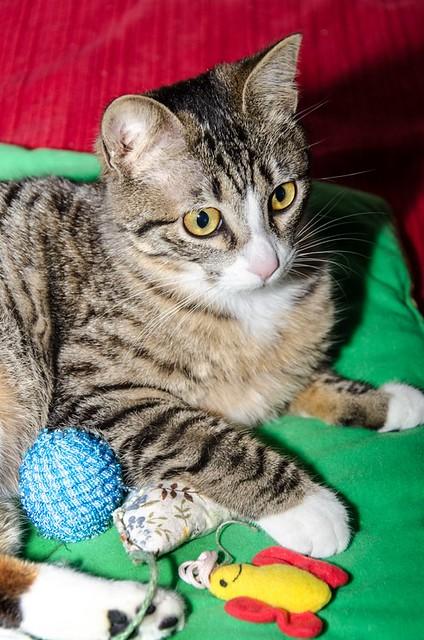 Efrén, gatito blanquipardo súper dulce positivo a inmuno nacido en Septiembre´17, en ADOPCIÓN ESPECIAL. Valencia. 40308213874_feef2cfb37_z