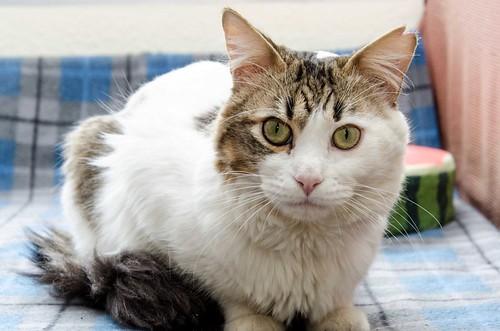 Aquiles, gato cruce Van Turco noble y buenísimo esterilizado, nacido en Enero´16, en adopción. Valencia. ADOPTADO. 41451537192_830405cd27