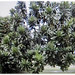 Medium-sized tree of Barringtonia asiatica