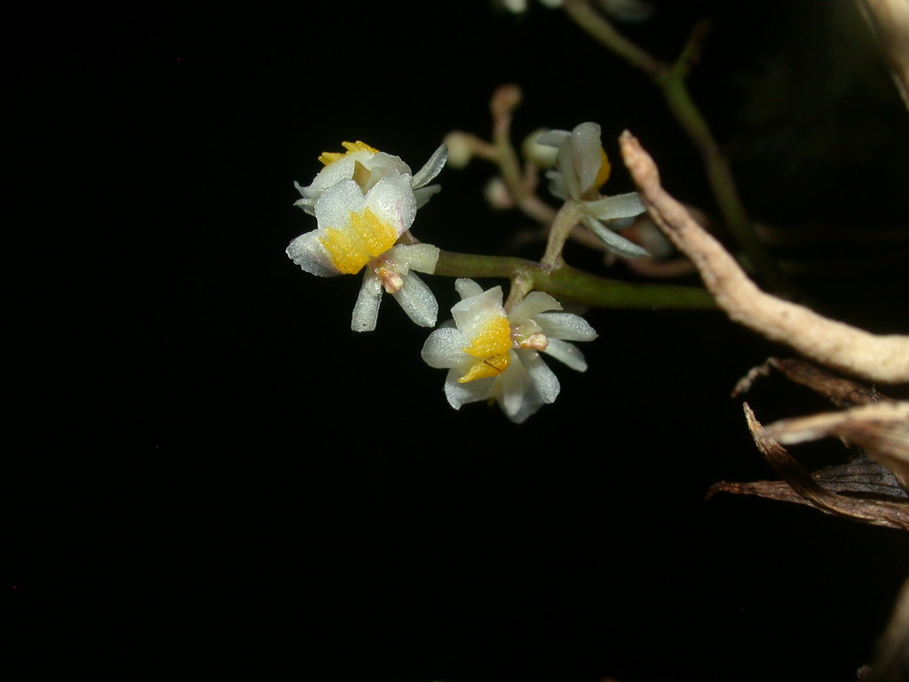 Miniatur-Orchideen Teil 4 - Seite 6 39503787350_0a4540f64a_b
