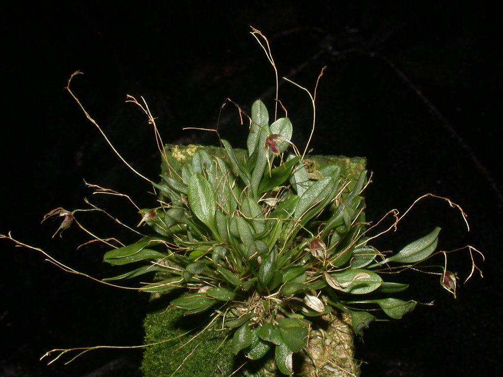 Miniatur-Orchideen Teil 4 - Seite 6 41281107592_4658eb04f2_b