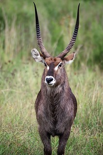 Waterbuck | by noelcmn