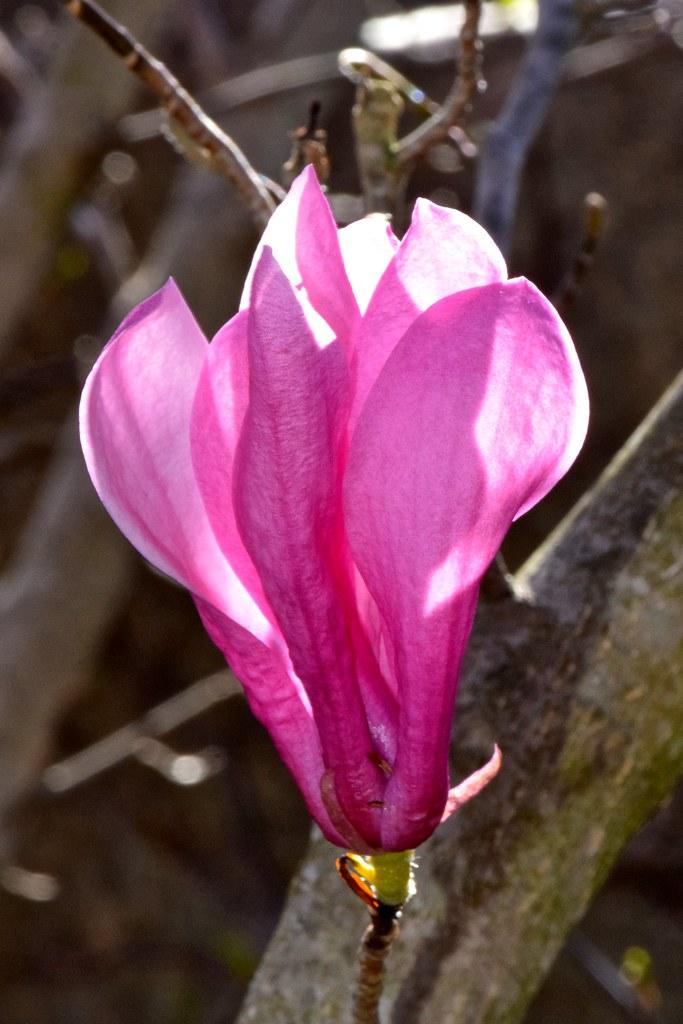 Tulip Tree Bloom Haywood County North Carolina Warren Reed