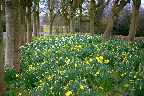 Early Spring dafs | by Tony Worrall