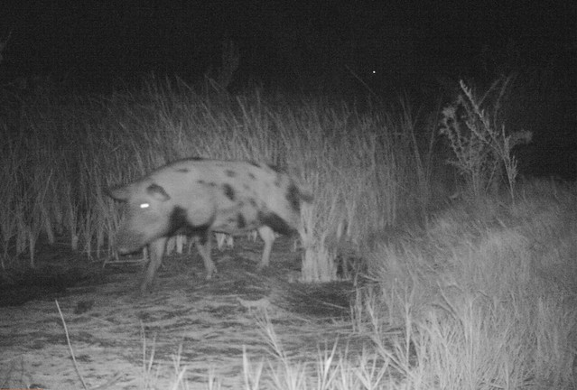 Feral swine captured by trail camera on the move at night