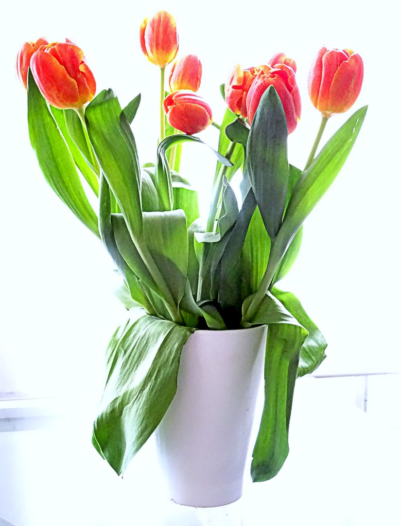 Dutch tulips tulips from holland clare white flickr dutch tulips by clare white reviewsmspy
