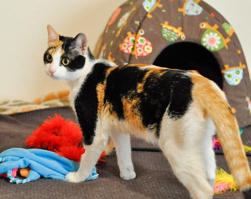 Ishtar, gatita tricolor Calicó súper cariñosa y juguetona esterilizada, nacida en Julio´17, en adopción. Valencia. 39917846555_249172635f