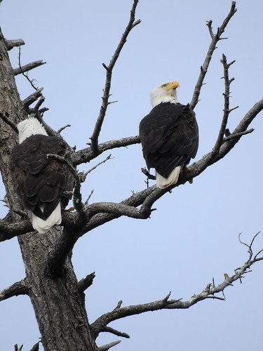 april 3 2018 16:00 - Eagles in The Babysitting Tree | by boonibarb