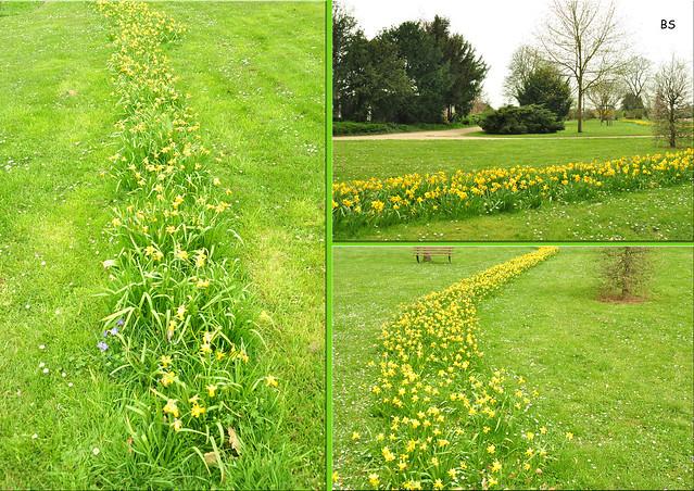 Noch blühen die Osterglocken, Narzissen im Gemeindepark Edingen ... Foto: Brigitte Stolle