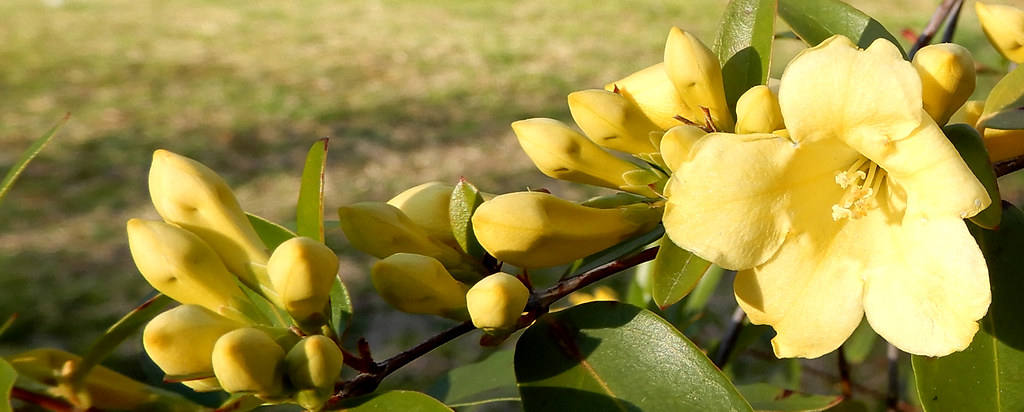 Yellow Jessamine Flower And Flower Buds This Is The State Flickr