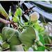 Unripe fruits of Barringtonia asiatica