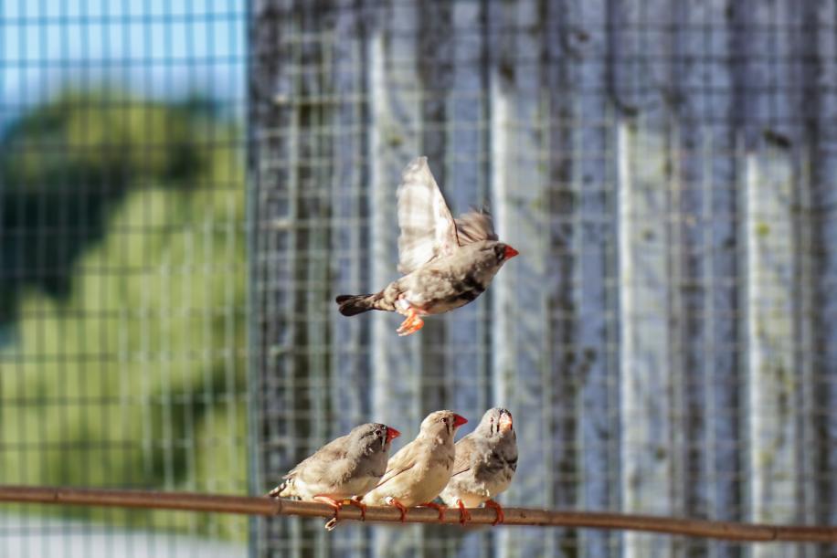 斑胸草雀。圖片來源:Atticus Pinzón-Rodríguez