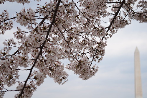 DC Cherry Blossoms 2018 | by brownpau