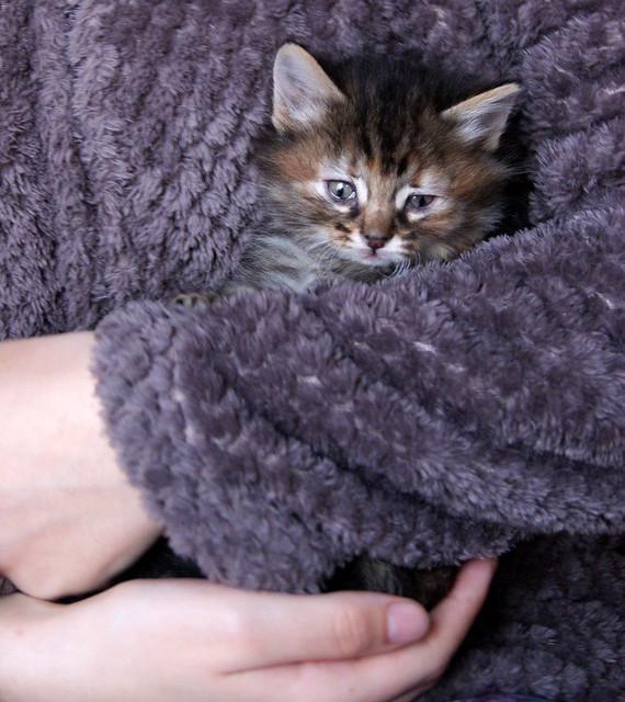 Suhaila, gatita parda con toques canela pelo largo guapísima, nacida en Febrero´18, en adopción. Valencia. ADOPTADA. 27145823828_89ac1cf151_z