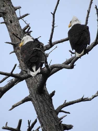 april 3 2018 16:03 - Eagles in The Babysitting Tree | by boonibarb