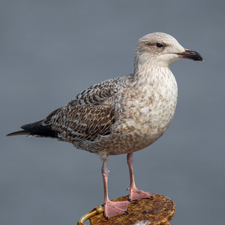 Young Gull | by Paul Kaye