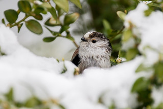 Long-tailed Tit in snow | by PINNACLE PHOTO