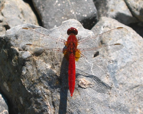 Scarlet darter (Crocothemis erythraea) male | by macropoulos