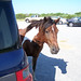 200608 - Assateague - pony - 209699214_495eb55958_o