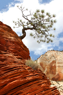 Zion Leaning Tree | by Rob Kroenert