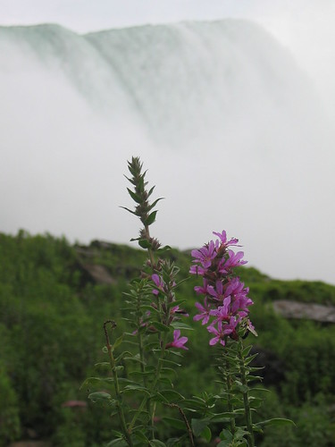 Flowers in front of Niagara Falls | by s_mestdagh
