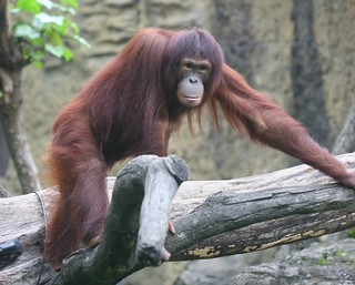 The orangutan with long hair | by HW.Wang
