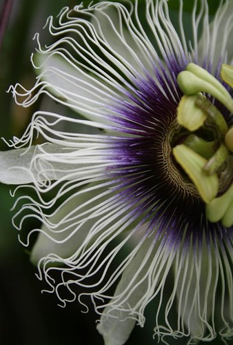 Passion Flower 2 | by @jsuplido