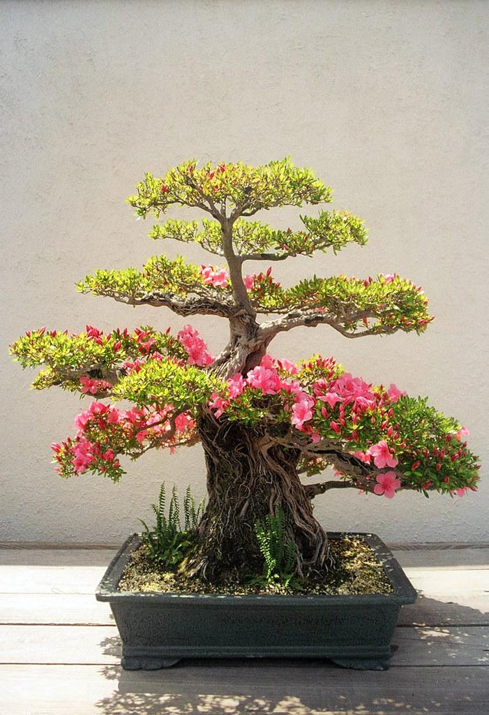 Azalea bonsai washington dc an old azalea probably a for Azalea bonsai
