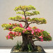 Azalea Bonsai, Washington, DC