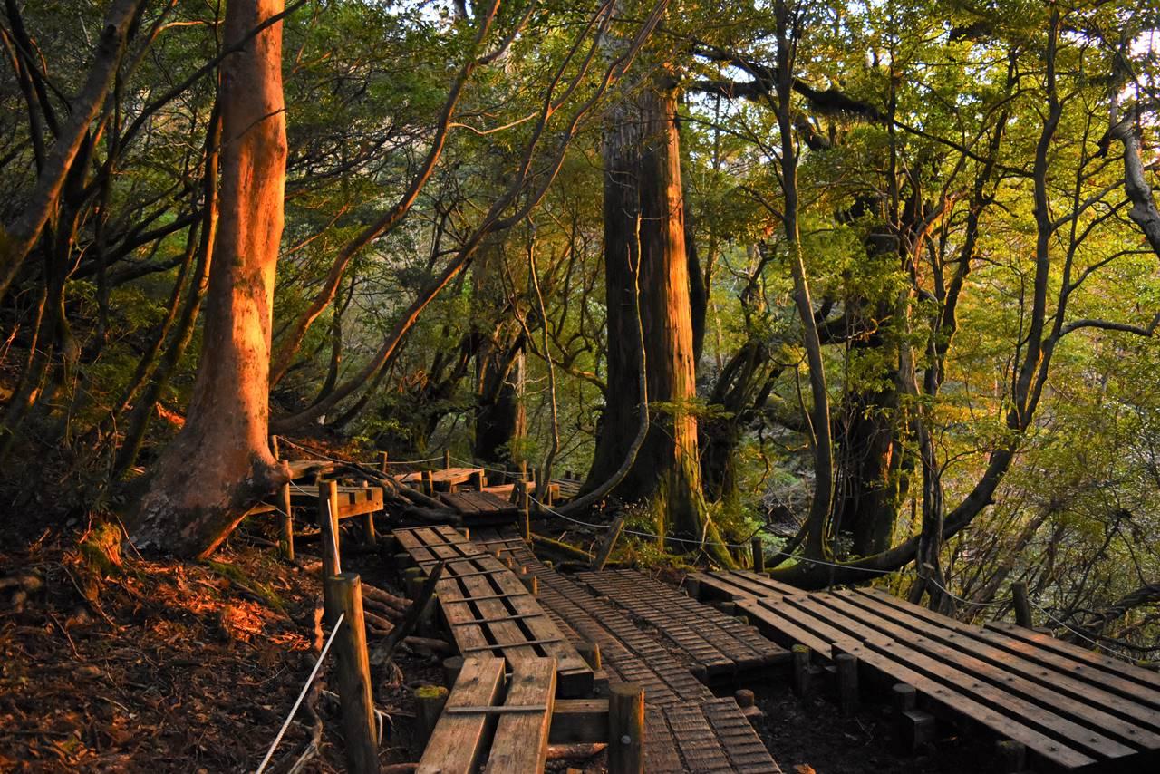屋久島・縄文杉の木道路