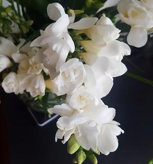 White freesia flower sanda odiatiu flickr white freesia flower by sandaodiatiu mightylinksfo