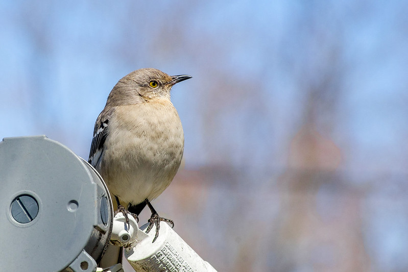 ILCE-7 | Minolta Rokkor-x 200mm f/2.8 | Image of a Mocking Bird in the spring time.