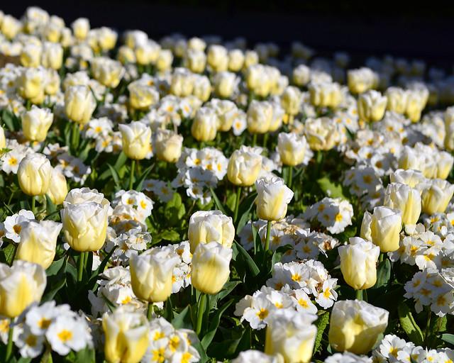 Rosas blancas en uno de los parques que ver en Dublín