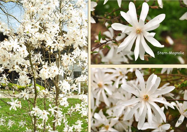 Stern-Magnolie - Magnolia stellata - April 2018 ... Fotos: Brigitte Stolle