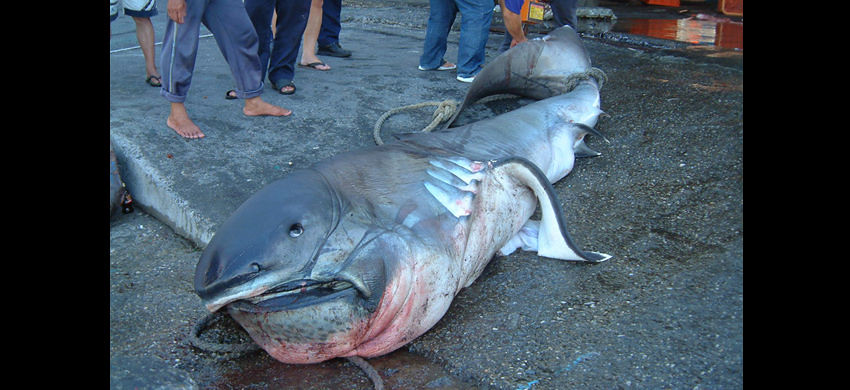 圖片來源:魚類生態進化研究室(CC BY-NC 3.0)