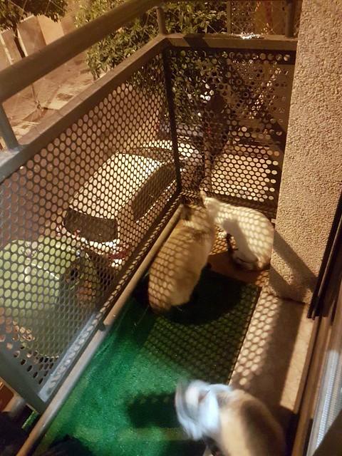 Cuca, gata siamesa tabby tímida y dulce esterilizada, nacida en Agosto´17, en adopción. Valencia. ADOPTADA. 26175139427_9598d3c091_z