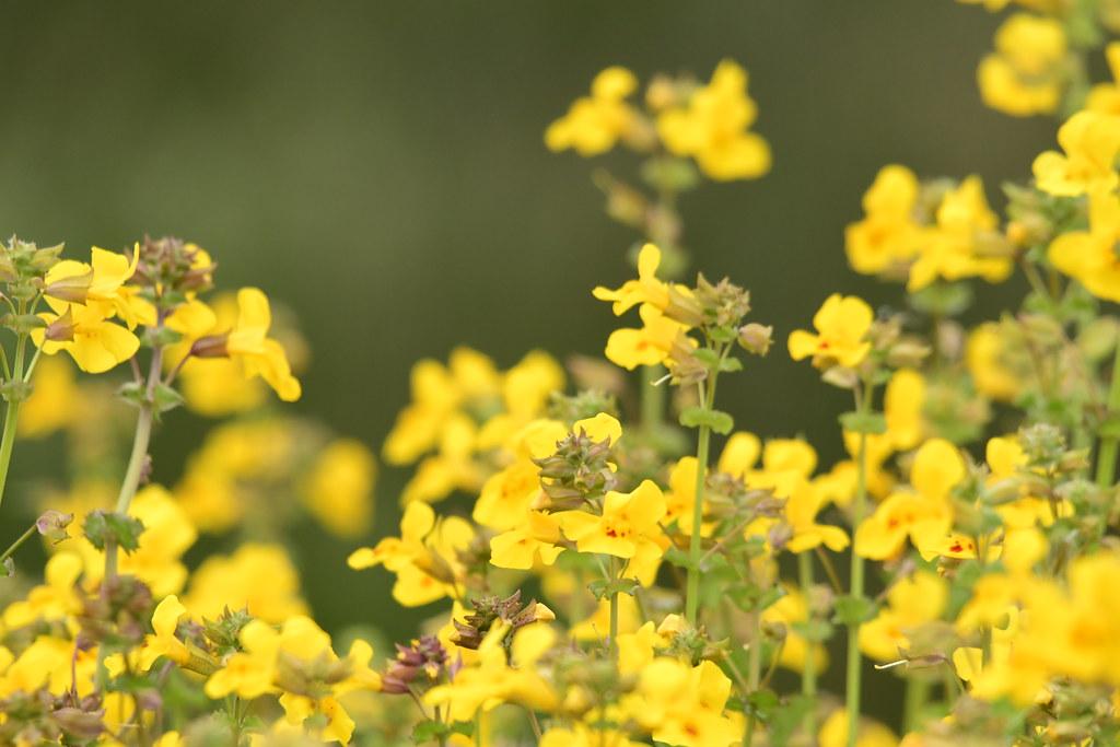 Yellow monkey flower california watcher1 flickr yellow monkey flower by california watcher1 mightylinksfo