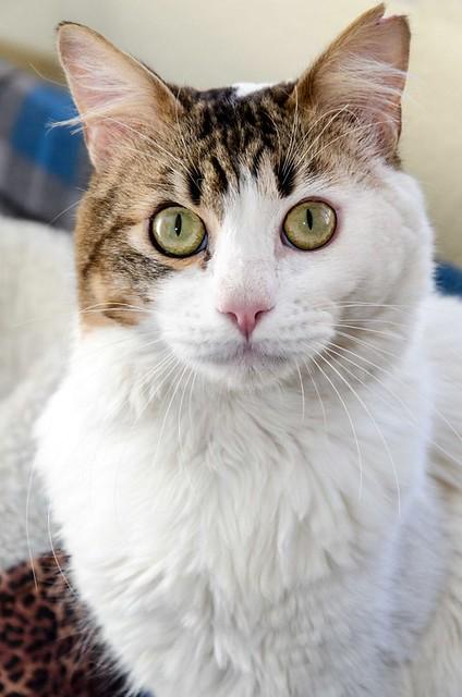 Aquiles, gato cruce Van Turco noble y buenísimo esterilizado, nacido en Enero´16, en adopción. Valencia. ADOPTADO. 41451538762_16285aec92_z