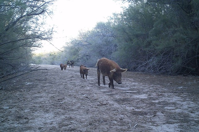 Feral swine walking on path in Havasu National Wildlife Refuge