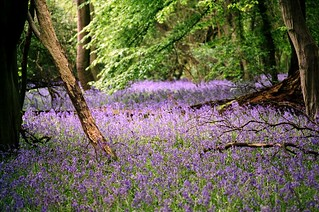 A-1 + Cinestill 50 ASA film in Bluebell Wood | by pentaxpete