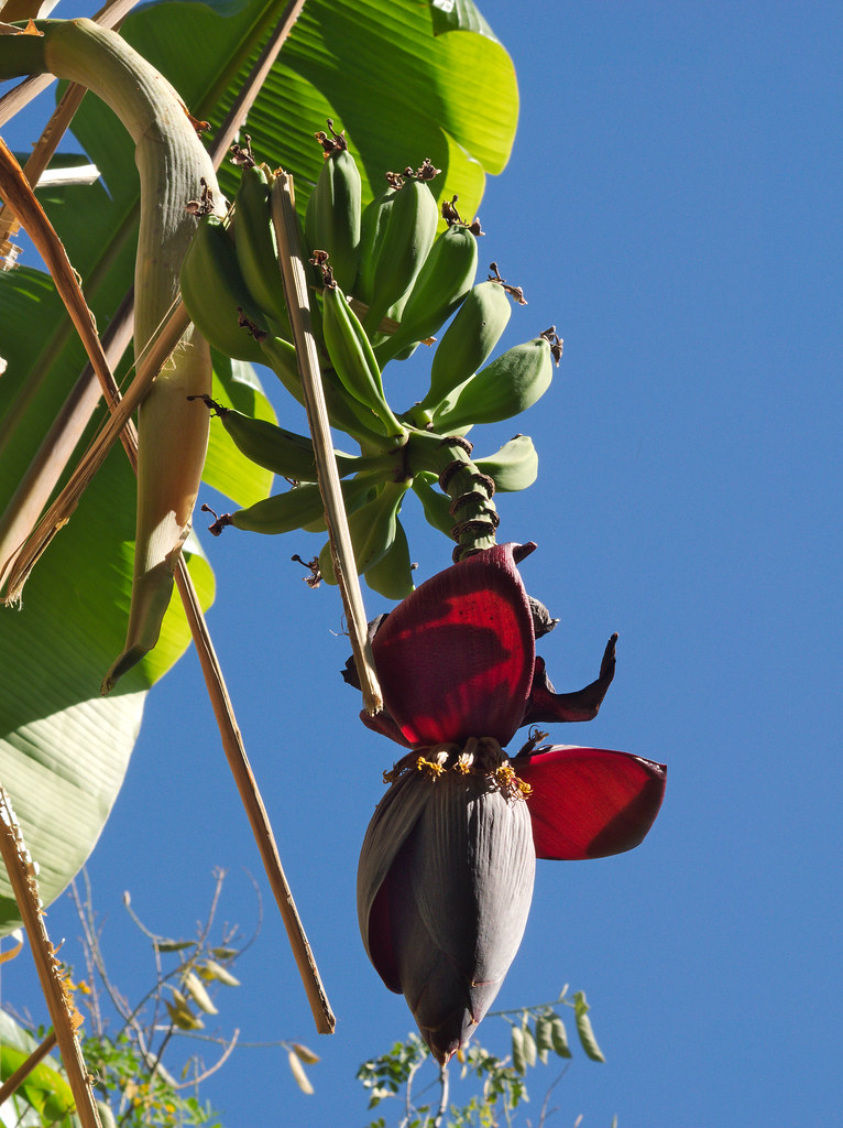 Banana Flower And Fruit At Reid Park Zoo Wednesday May 9t Flickr