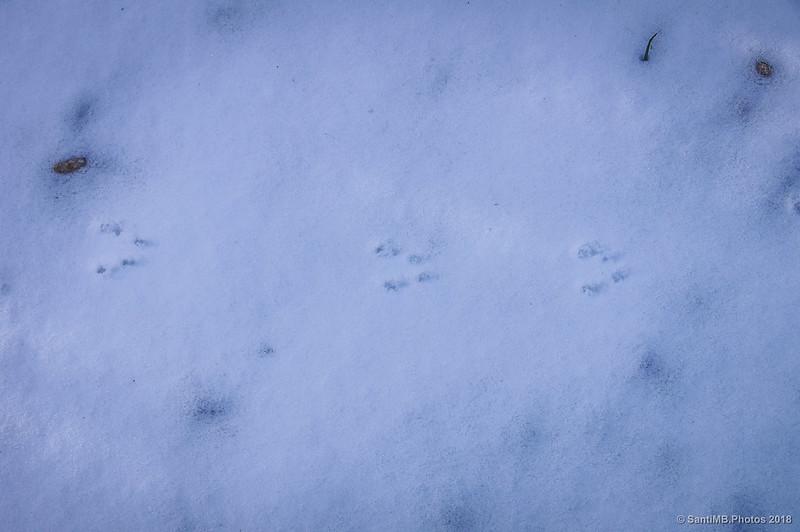 Huellas de ardilla en la nieve