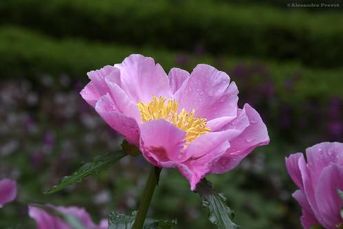 jardin alexandre godron pivoine 39 pink chalice 39 g ographi flickr. Black Bedroom Furniture Sets. Home Design Ideas