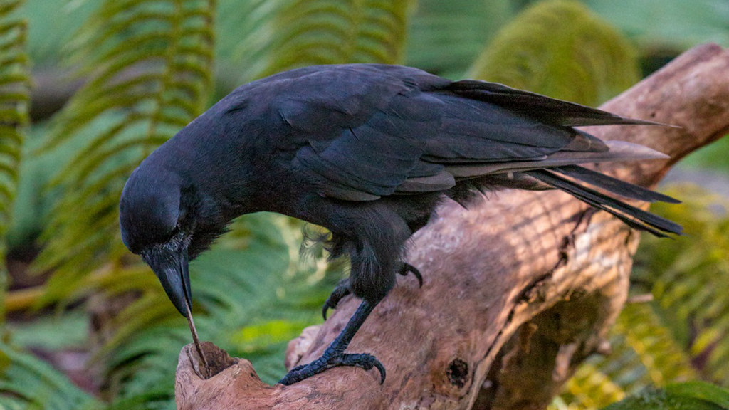 A captive Hawaiian crow ('Alalā) using a stick tool to extract food