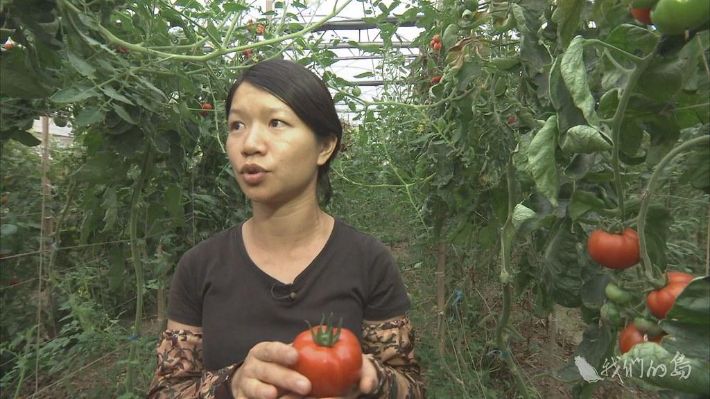 955-3-1 (72)蔡綉佳的溫室中,有著不同品種的番茄,友善農法,照顧土地,培養地力,讓農作自然生長。