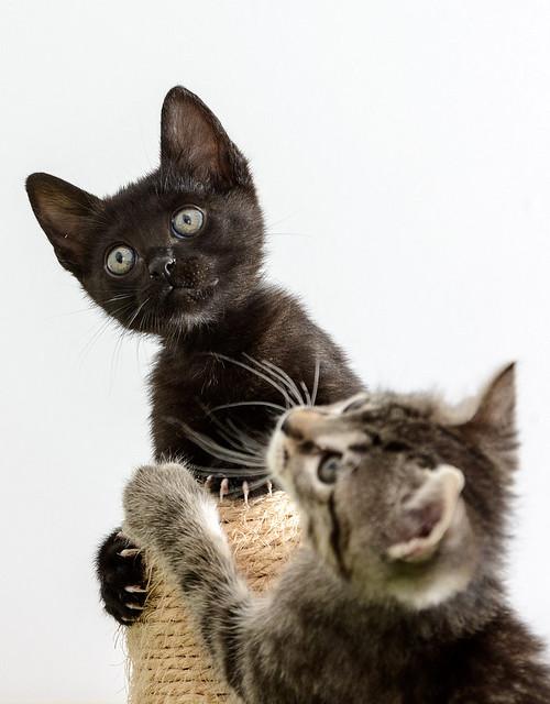 Bombón, gatita negra monísima y dulce esterilizada, nacida en Marzo´18 en adopción. Valencia. RESERVADA. 28335844028_5f5a04ba9b_z