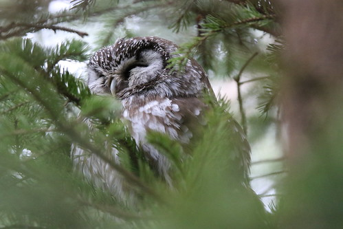 Boreal owl | by Brad Carlson's Photos