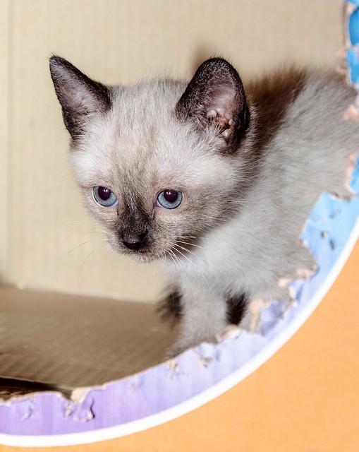 Boston, gatito Siamés Tabby reguapo y juguetón esterilizado, nacido en Marzo´18, en adopción. Valencia. ADOPTADO. 41252494934_fc487c5227_z