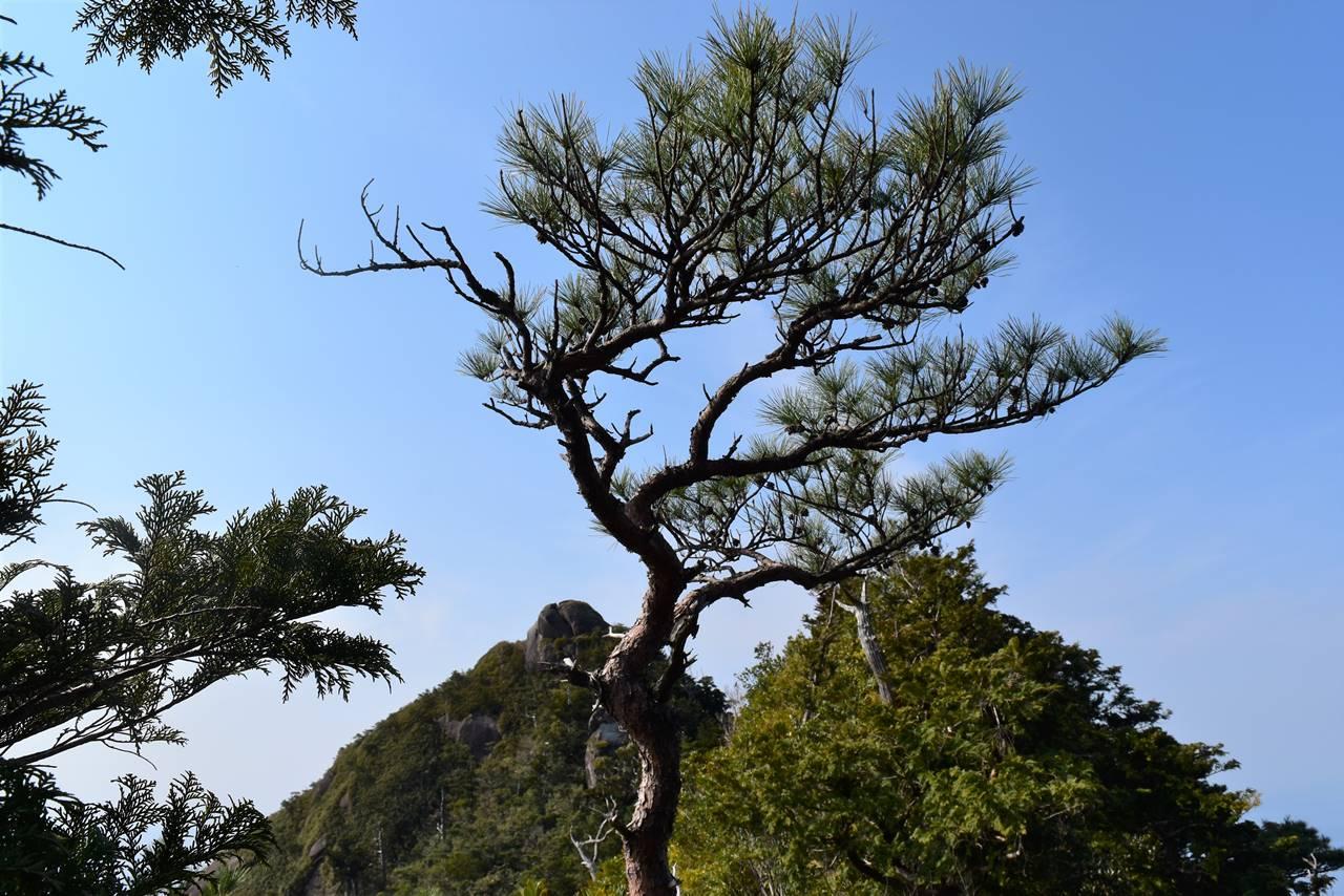 モッチョム岳稜線のダンシングツリー